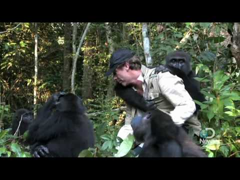 Extraordinary Gorilla Encounter Explained Video