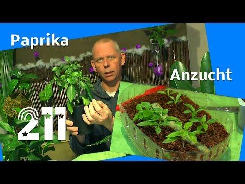 Gemüse im Haus. Die Paprika pikieren im Winter