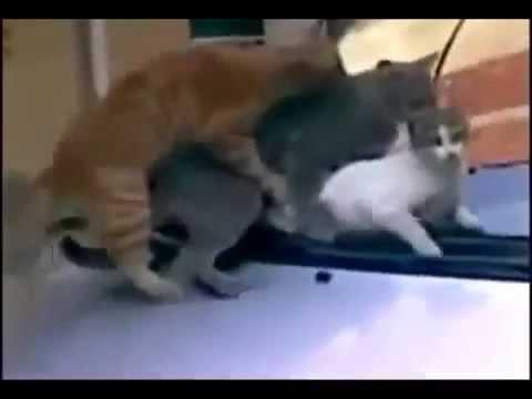 Любвеобильные коты отрываются на капоте
