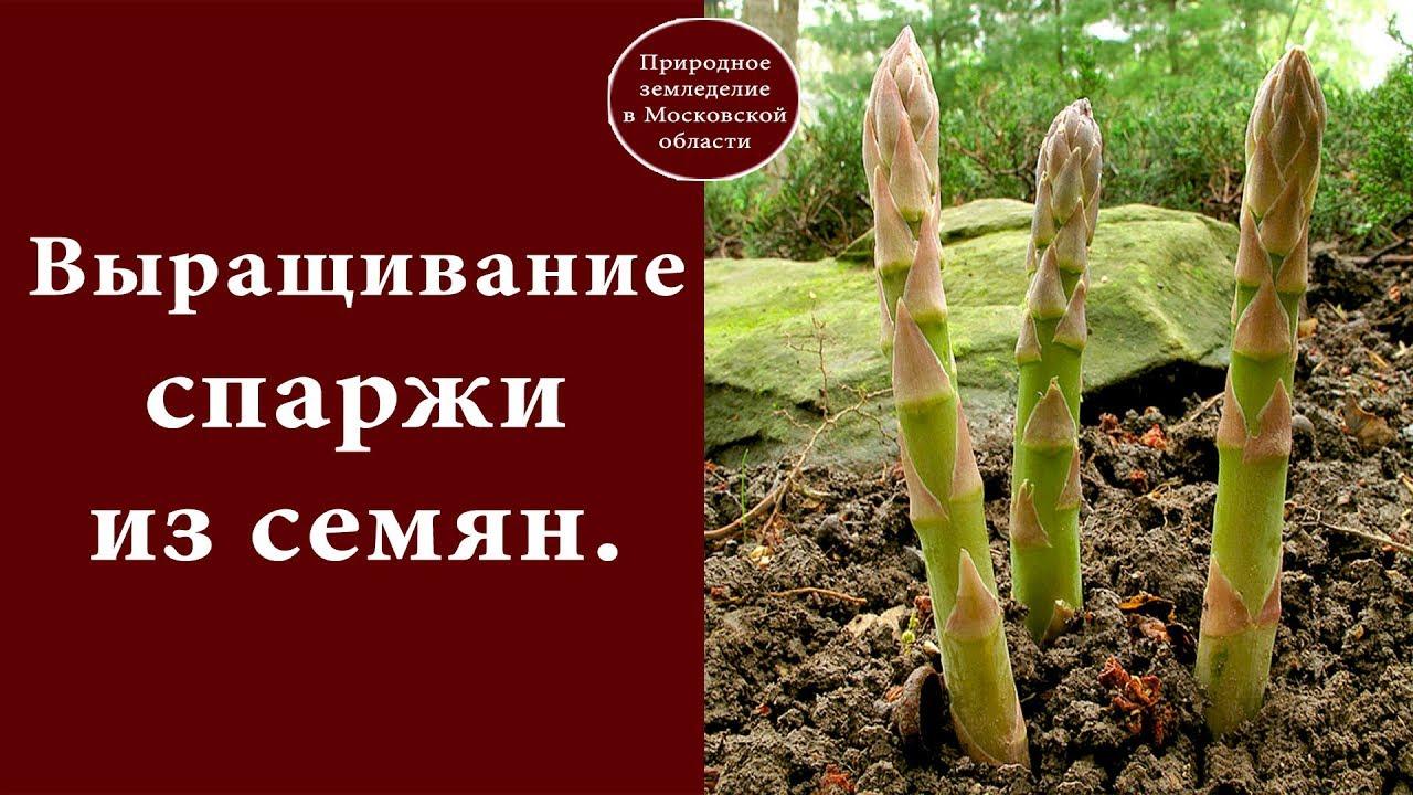Выращивание из семян аспарагуса 91