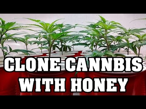 Cloning Cannabis- Save Money Use Honey
