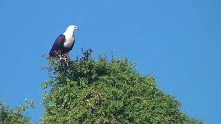 High up in the tree a Fish Eagle in Chobe NP Botswana