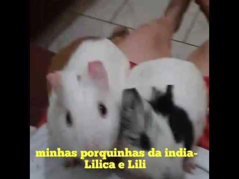 Minhas porquinhas da india