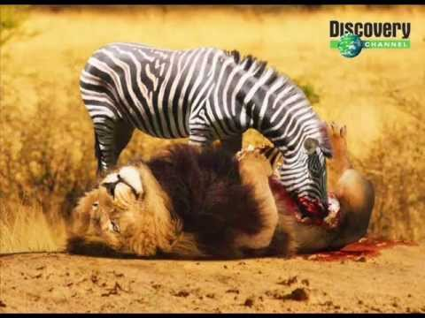 Zebra Kill And Eat Lion video