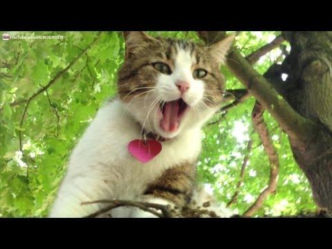 Chat câlin qui miaule, bâille et se frotte partout