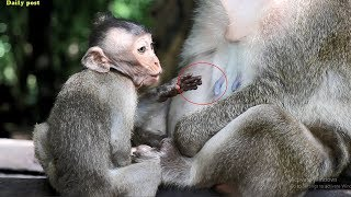 Starved baby Milto crying for milk, hungry baby Milto crying loudly, Milta monkey fights cuz of milk