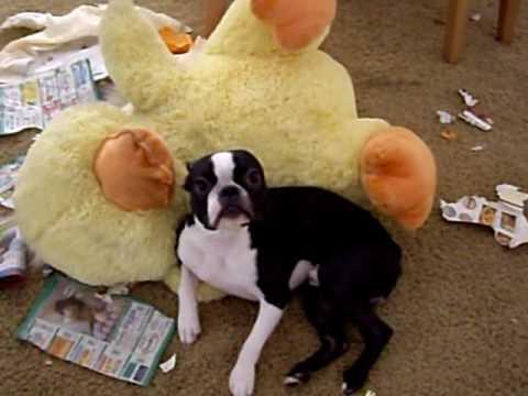 家の中をちらかしてしまった犬が怒られ涙目状態に