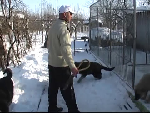 Liesti ciobanesti caucazieni Nicu Dibu 0743.560.356