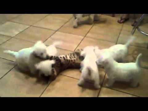 Perros - Gato jugando con perritos blancos