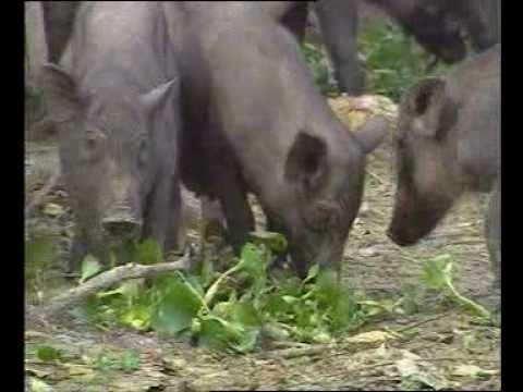 Chăn nuôi lợn rừng