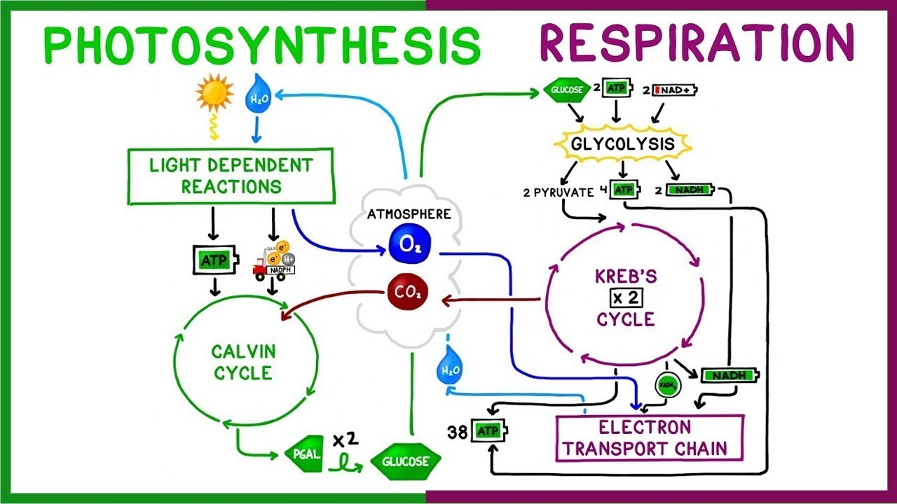photosythesis respiration cycle Photosynthesis is the process by which plants, some bacteria, and some protistans use the energy from sunlight to produce sugar, which cellular respiration converts into atp, the fuel used by all living things.