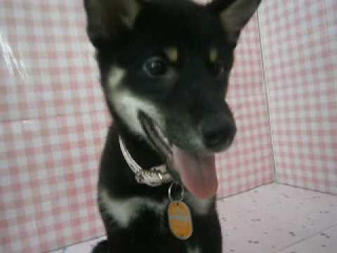 ペットショップCoo&RIKU 柴犬 00287519
