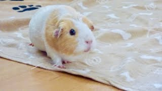 Guinea Pig Floor Time Vlog with Busy Guinea Pigs