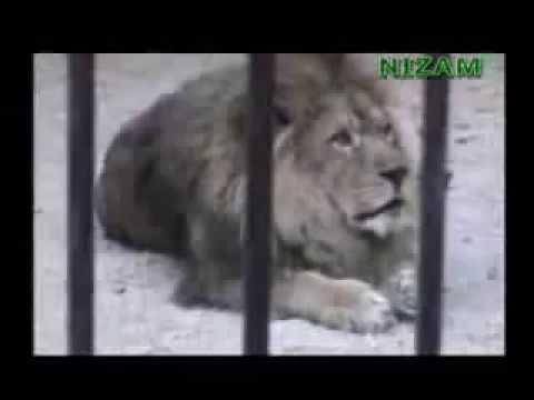 'АЛЛАХ' кричит лев