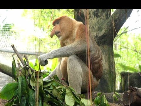 Proboscis Monkey - Zoo Sex-simbol. Носач - секс символ Сингапурского зоопарка. video