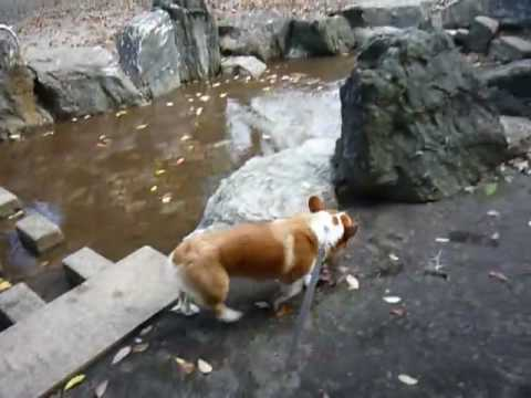 Goro@Welsh corgi 20081027 park