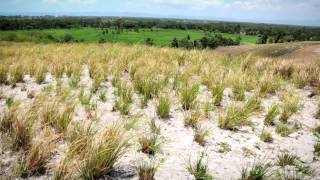 VIDEO: How Vetiver is Cultivated In Haiti