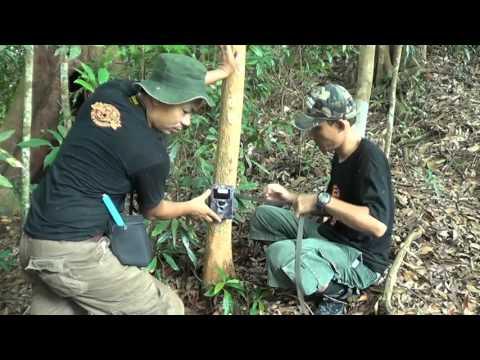 Jejak Harimau Sumatera Itu Masih Ada Diantara Ancaman Kepunahan