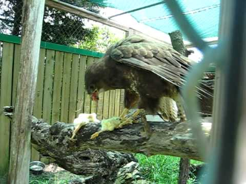 Flash the Buzzard eats some adorable baby chicks.