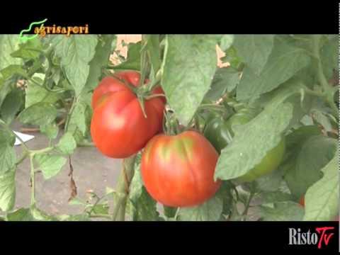 Dal campo al laboratorio Gli insetti dannosi del pomodoro