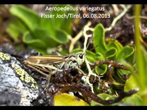Header of Aeropedellus