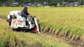 Rice harvest in Kobe, Japan  Rizs aratás Kobe-ban  2016 09 11