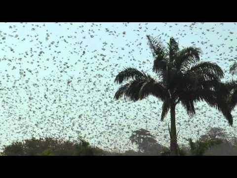Natural spectacle: Bats welcome German President Gauck during official reception in Nigeria
