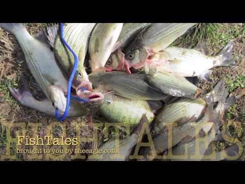 The word is out... Lake Somerville & Yegua creek whitebass fishing 2013