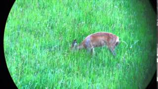 and more German Roe deer