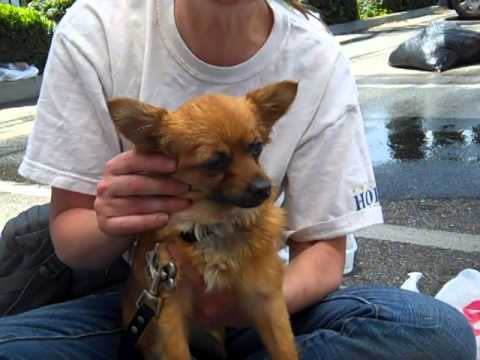 Long Haired Chihuahua Vs Pomeranian - Best Hairstyles 2014 Ideas