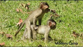 Baby monkey playing with friends, Baby monkey humping, Monkey Camp part 1739