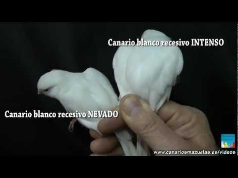 pedromazuelas - Como diferenciar Canarios Blanco Recesivo Nevado de Blanco Recesivo Intenso Parte2