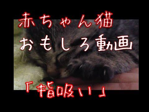 赤ちゃん猫 おもしろ動画 グーパー指を吸うときのかわいい仕草  Funny cute cat suck the finger