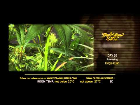 Kings Kush - Green House Grow Sessions