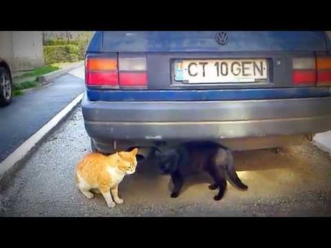 Cearta Intre Pisici video