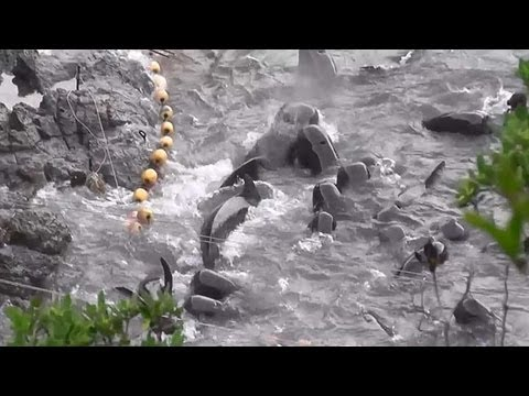 Taiji, Japan - Pilot whales are tethered as pod come to their side