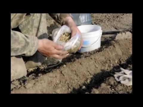 Когда сажать семена календулы в открытый грунт