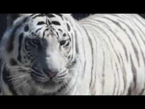 White Tiger Killed A Men in New Delhi