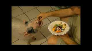 Mini Pig Hates her Veggies! (Prissy and Bomber Show)