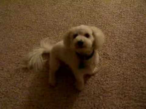 dog wanna go for a walk - bichon frise Video