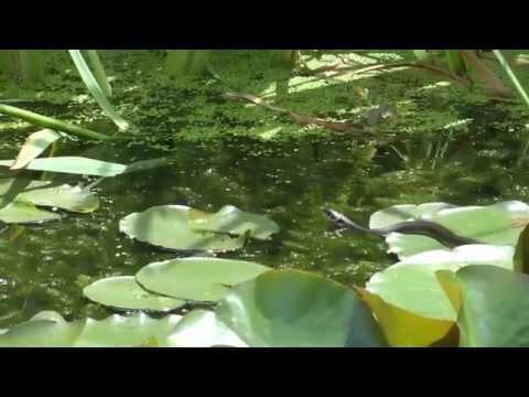 Ringelnatter - Pärchen Im Gartenteich