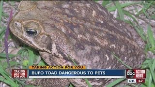 Bufo toad dangerous to pets