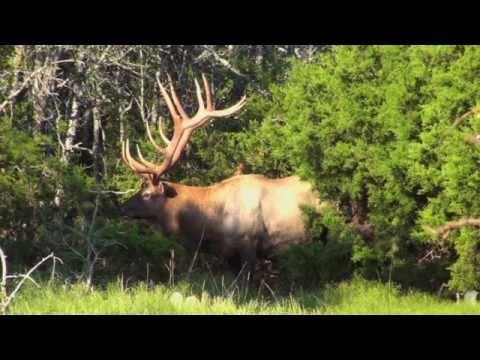 texas-elk-hunting-another-fine-elk-hunt-at-vbharre-ranch.html