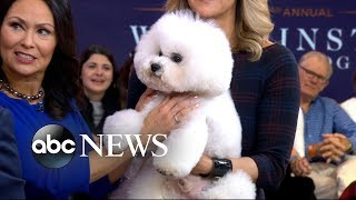Meet the 'Best in Show' Westminster dog