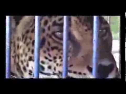 Circos / Maltrato Animal / Leona Morelia / Daniel Atayde (Versión Completa)