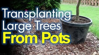 Transplanting Large Mature Trees From Pots Made Easy