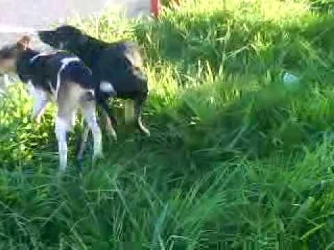 Perro cojiendo pegado perro cojiendo pegado youtube cojiendo ala madrastra - Animales con personas apareandose ...