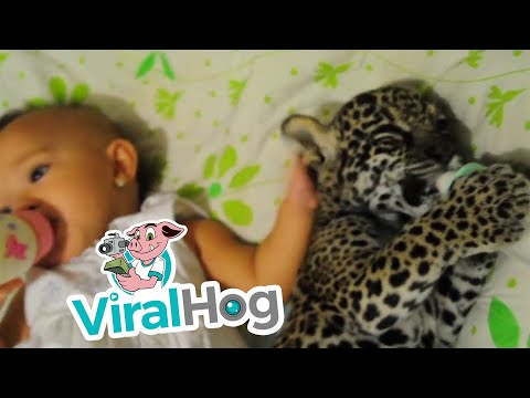 赤ちゃんとジャガーの赤ちゃんが一緒にミルクを飲んでいる珍風景!?