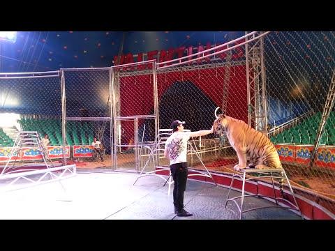 Circo los valentinos Como entrenan a los tigres