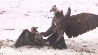 Fighting of Golden Eagle and Cinereous Vulture, Fighting on the ground.